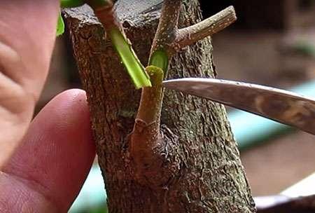 [Image: ghep-nem-mai-bonsai.jpg]