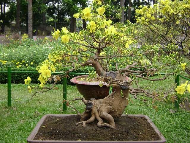 [Image: goc-mai-vang-bonsai.jpg]